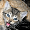 Maullido de gatito