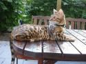 El gato de Bengala