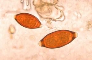 parásitos del gato