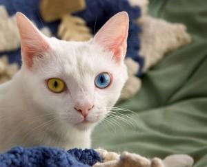 Gato blanco con heterocromía