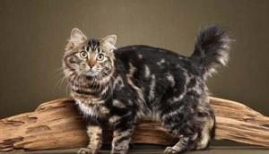 Gato Bobtail americano