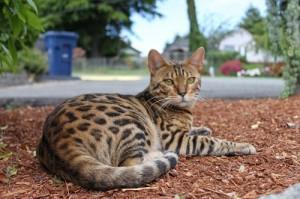 Gato de bengala en la calle