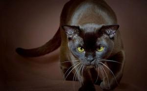 Gato negro cazando