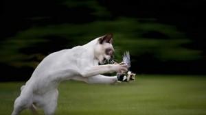Gato siamés cazando