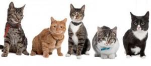 Gatos de pelo corto