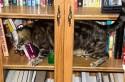 Gato en librería