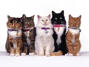 Clases de gatos