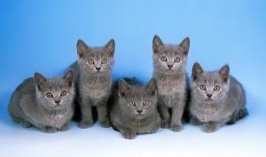 Gatos grises - Chartreux
