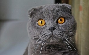 Gato British (1)