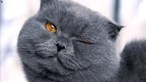 Gato British (2)