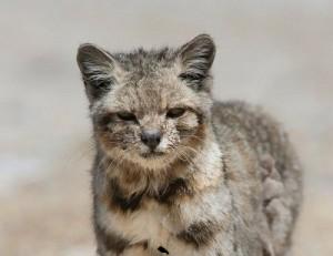 Gato Andino 2