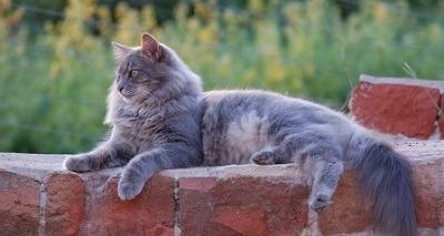 Munchkin (gato) - Wikipedia, la enciclopedia libre